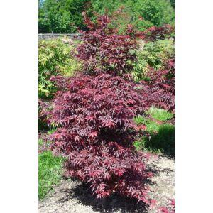 Acer palmatum 'Skeeter's Broom' - Japán juhar
