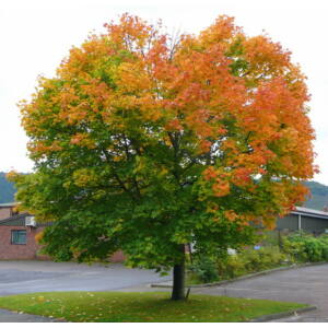 Acer platanoides - Korai juhar (extra méretű koros)