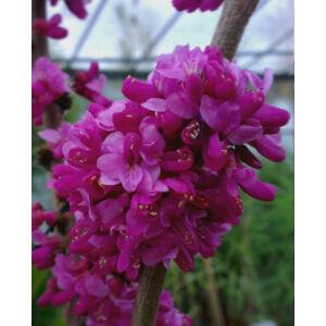 Cercis chinensis 'Avondale' - Júdásfa