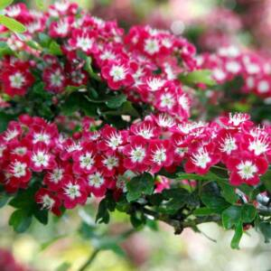 Crataegus laevigata 'Crimson Cloud' - Díszgalagonya