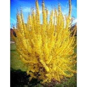 Forsythia 'Courtalyn (Week End)' - Aranycserje (helytelenül: aranyeső, aranyvessző)