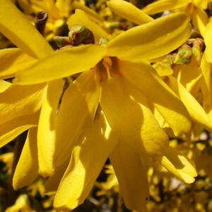 Forsythia intermedia 'Gold Zauber' - Aranycserje (helytelenül: aranyeső, aranyvessző)