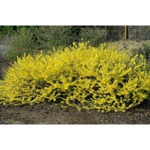 Forsythia 'Marée d'Or' - Aranyfa (helytelenül: aranyeső, aranyvessző)