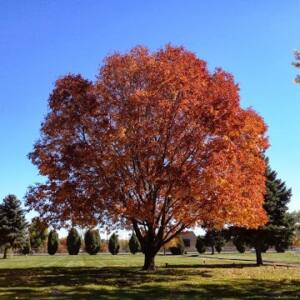 Fraxinus pennsylvanica 'Autumn Purple' - Vörös amerikai kőris (extra méretű koros)