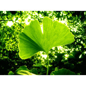 Ginkgo biloba – Páfrányfenyő (extra méretű koros)