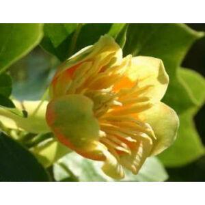 Liriodendron tulipifera 'Fastigiata' -  Oszlopos tulipánfa (extra méretű koros)