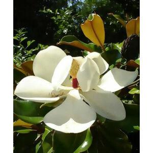 Magnolia grandiflora 'Gallisoniensis' - Fehér virágú magnólia
