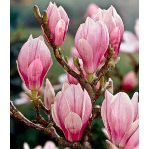 Magnolia soulangeana - Liliomfa
