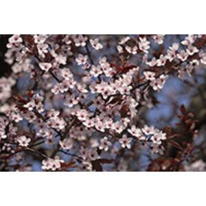 Prunus × blireana 'Moseri' - Díszcseresznye