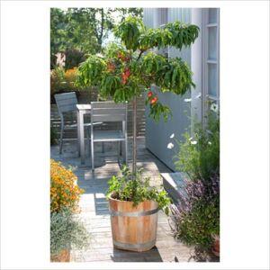 Prunus persica 'Balkonella' - Nektarin