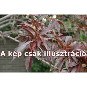 Prunus persica 'Roter Pumukli' - Őszibarack