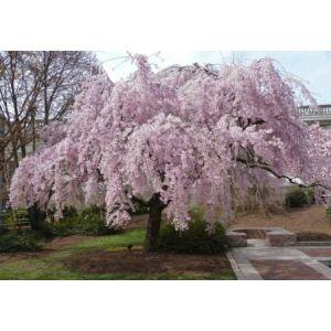 Prunus subhirtella 'Pendula Plena Rosea' – Csüngő, rózsaszín virágú díszcseresznye (extra méretű koros)
