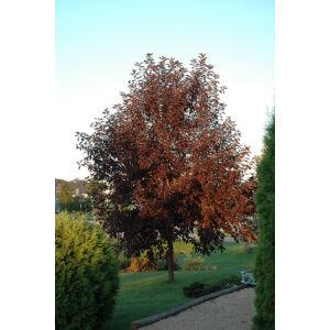 Prunus virginiana 'Canada Red' – Vörös levelű májusfa