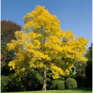 Robinia pseudoacacia 'Friesia' - Sárga lombú akác