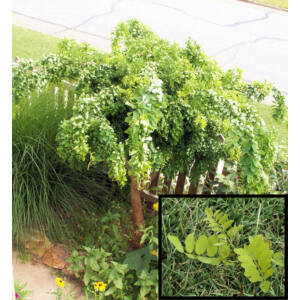 Robinia pseudoacacia 'Twisty Baby' - Törpe csüngő akác