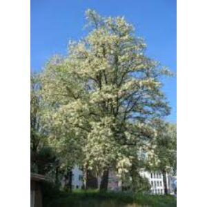 Robinia pseudoacacia 'Unifolia' - Fehér akác (extra méretű koros)