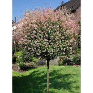 Salix integra 'Hakuro-Nishiki' – Fehér-rózsaszín tarka levelű japán fűz