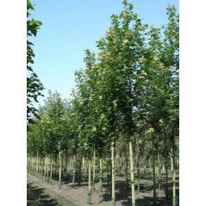 Sorbus intermedia 'Brouwers' - Svéd berkenye