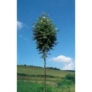 Sorbus aucuparia 'Fingerprint' – Madárberkenye (extra méretű koros)