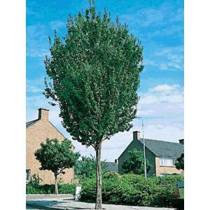 Sorbus aucuparia 'Sheerwater Seedling' – Madárberkenye (extra méretű koros)