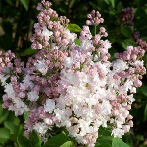 Syringa vulgaris 'Krasawitsa Moskvy' - Rózsaszínes fehér orgona