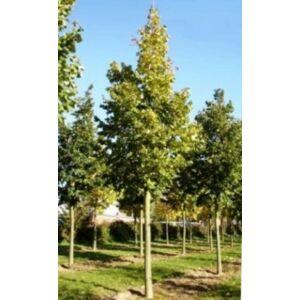 Tilia argentea 'Brabant' - Ezüst hárs