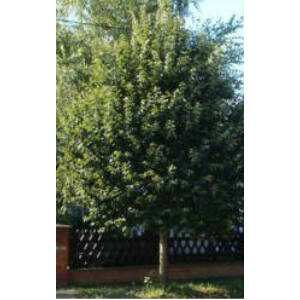 Tilia argentea 'Teri' - Ezüst hárs (extra méretű koros)