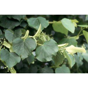 Tilia cordata 'Savaria' - Kislevelű hárs (tősarj nélküli fajta!)