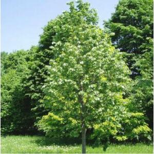 Tilia argentea 'Szeleste' - Ezüst hárs (extra méretű koros)