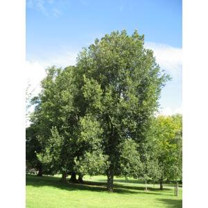 Ulmus hollandica 'Groeneveld' – Holland szil