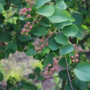 Amelanchier alnifolia 'Martin' – Mézalmácska