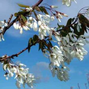 Amelanchier laevis 'Snow Cloud' – Mézalmácska