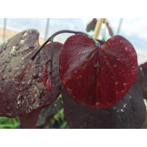 Cercis canadensis 'Red Force' - Bordó levelű júdásfa