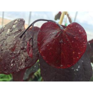 Cercis canadensis 'Red Force' - Bordó levelű júdásfa