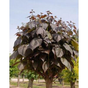 Catalpa erubescens 'Purpurea' - Piros levelű szivarfa