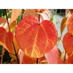 Cercidiphyllum japonicum – Kislevelű kacsurafa