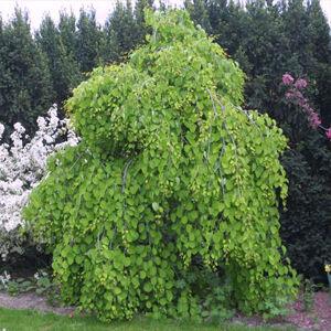 Cercidiphyllum japonicum 'Pendulum' - Csüngő ágú júdásfa (kacsurafa)