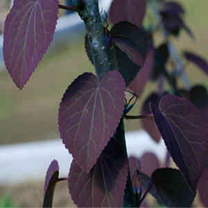 Cercidiphyllum japonicum 'Rotfuchs' - Piros lombú kacsurafa