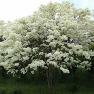 Chimonantus retusus – Kínai hópehelyfa