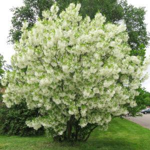 Chionanthus virginicus – Amerikai hópehelyfa