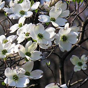 Cornus florida – Virágos som