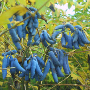 Decaisnea fargesii – Kék babfa