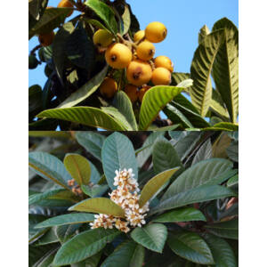 Eriobotrya japonica – Japán naspolya