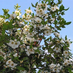 Eucryphia x intermedia 'Rostrevor' – Bőrlevelű fa