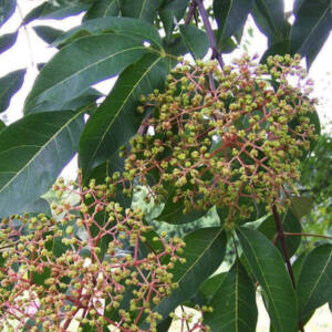 Evodia hupehensis – Kínai mézelőfa