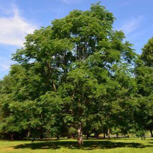 Gymnocladus dioicus – Amerikai vasfa