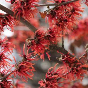 Hamamelis intermedia 'Diane' – Varázsmogyoró (piros)