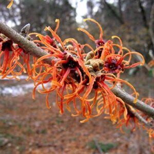 Hamamelis intermedia 'Jelena' – Varázsmogyoró (piros)