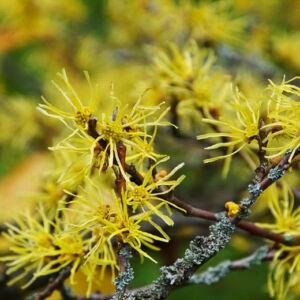 Hamamelis virginiana – Nagylevelű csodamogyoró
