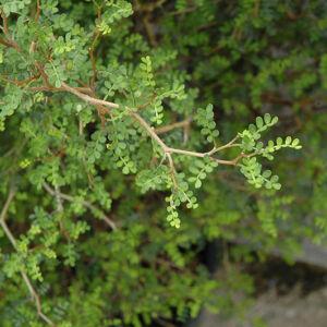 Sophora prostrata 'Little Baby' – Törpe akác